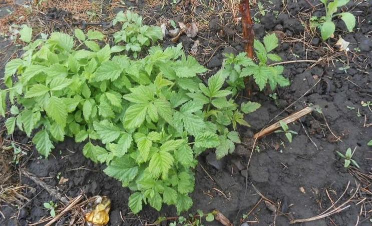 Малина розростається і захоплює ділянку - посадіть поруч ці рослини: вони не дозволять їй це робити