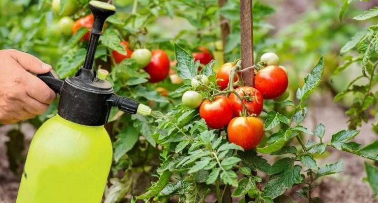 Догляд за помідорами в липні: налаштовуємо рослини на «безперервний» цикл плодоношення
