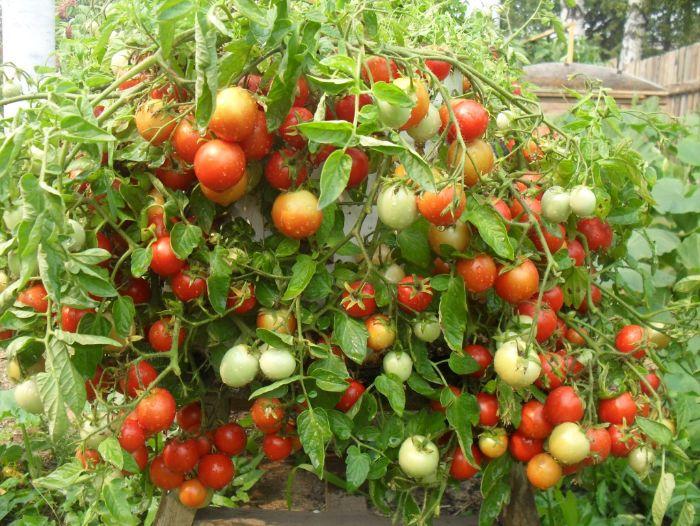 Фітофтора почалася. Як досвідчені дачники боряться з фітофторою і збільшують урожай помідорів і огірків