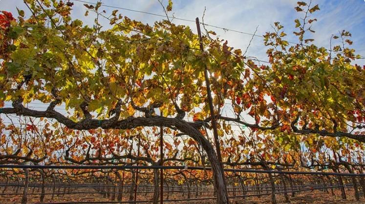 Який осінній догляд за виноградом забезпечить відмінний врожай в наступному році