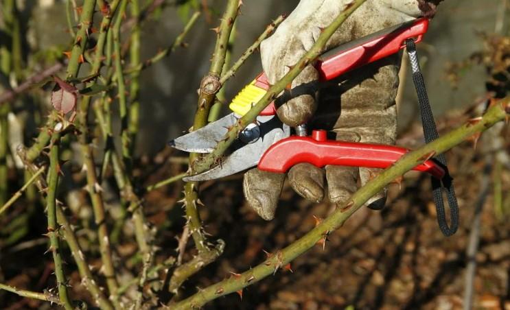 Жовтень - найкращий час для обрізки троянд. Коли і як правильно зробити процедуру?