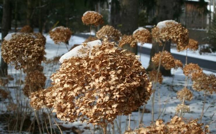 Осінній догляд за гортензією: як правильно підготувати кущ до зими?